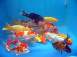 Koi arten images frompo for Teichfische arten